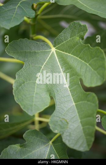 fig tree. leaves, fruit tree, growth natural. - Stock-Bilder