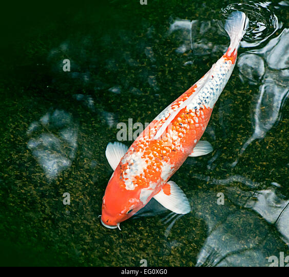 Ornamental fish stock photos ornamental fish stock for Decorative pond fish