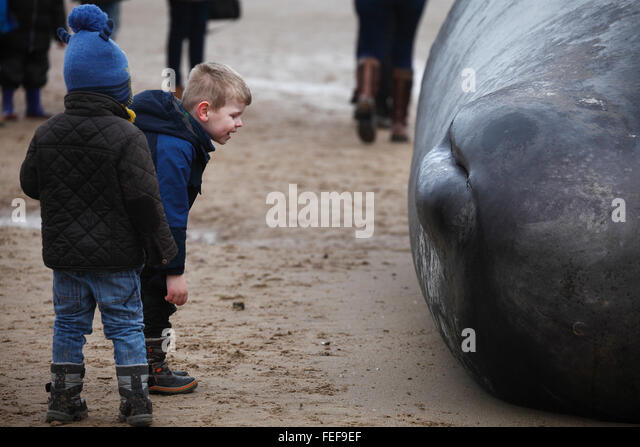 Old Hunstanton, Norfolk, England, UK. February 6th 2016. People flock to see the dead sperm whale which came ashore - Stock Image