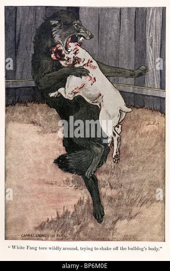 An illustration from White Fang by Jack London, 1905, 1906; illustrated by Charles Livingston Bull. - Stock Image