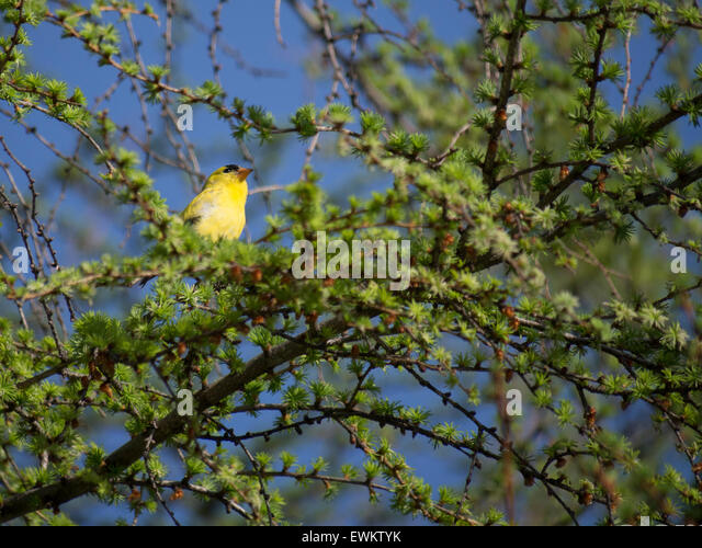 jilguero bird drinking water - photo #20
