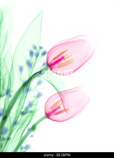 An X-ray of a bouquet with tulips . This low energy x-ray shows the interior structure of the flowers. - Stock Image