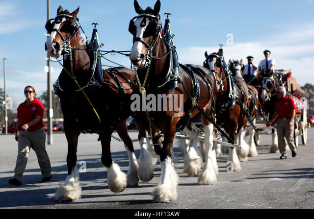 Budweiser Clydesdales Stock Photos & Budweiser Clydesdales ...