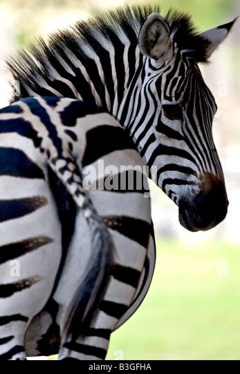 Common zebra looking back - Stock Image