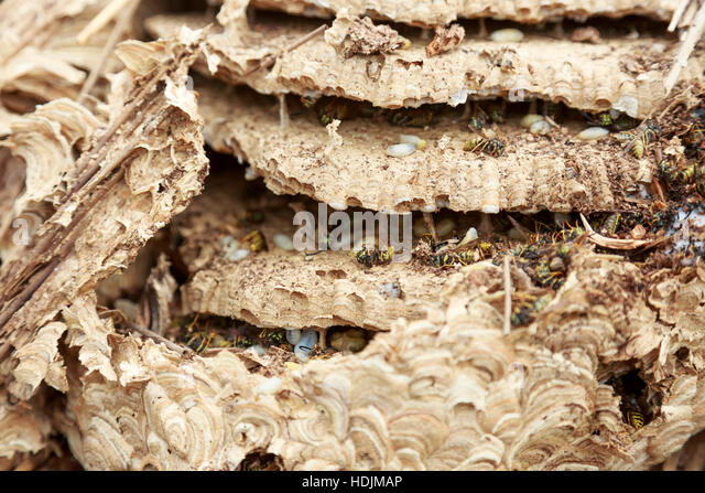Wasp Grub Stock Photos Amp Wasp Grub Stock Images Alamy