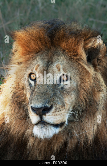 Male Lion, Serengeti, Tanzania (Panthera leo) - Stock-Bilder