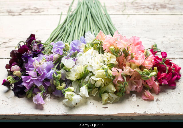 Sweet Peas Lathyrus odoratus Dynasty Spring Sunshine Peach Spring Sunshine Champagne Jilly White Supreme Winter - Stock Image