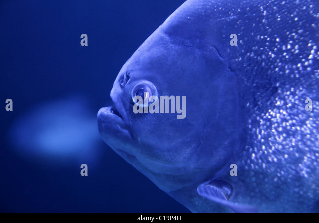 fish piranha macro face detail blue color water background - Stock Image