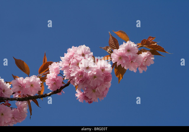 Pink Ornamental Cherry Trees In Stock Photos Pink