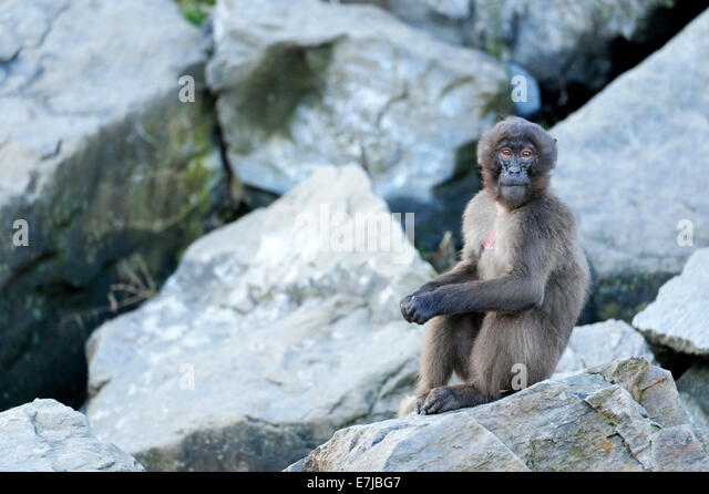 Gelada Baboon (Theropithecus gelada), Zoo, Zurich, Switzerland - Stock Image