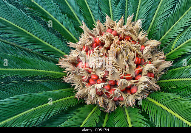 Sago Palm flowering, producing a felt mass in the center of the leaf mass. - Stock Image