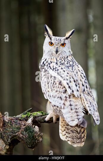 Western Siberian eagle-owl - Stock-Bilder