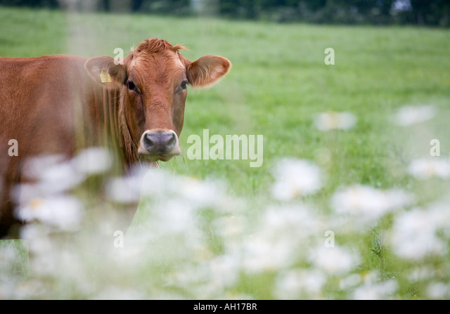 Cow and Daisies A brown cow in a green pasture with white flowers in the foreground Aero Funen Denmark - Stock Image