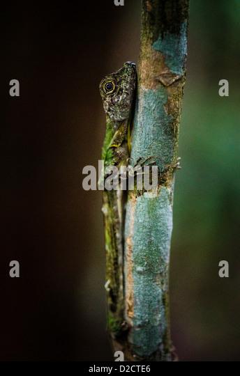 Angle headed Lizard on Gaya island Kota Kinabalu Sabah Borneo Malaysia - Stock Image