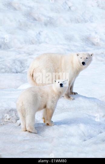 Polar bear mother (Ursus maritimus) and cub, Wrangel Island, Chukchi Sea, Arctic Russia - Stock Image