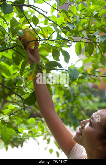 Young woman picking fruit from tree - Stock Image