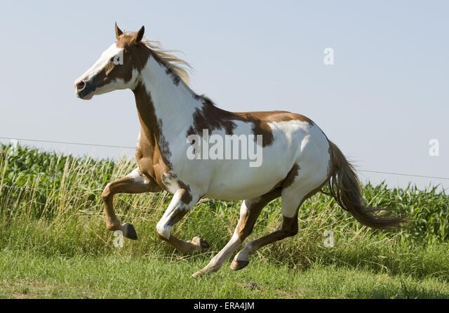 Tobiano Paint Horse Stock Photos & Tobiano Paint Horse ...