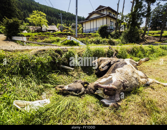 Nishihara, Japan. 20th Apr, 2016. Dead cattle in the village of Nishihara, Kumamoto prefecture, Japan on Wednesday, - Stock Image