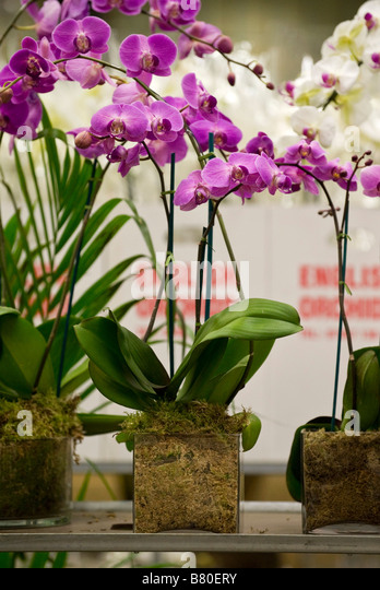 Planted Orchids at New Covent Garden Flower Market London UK - Stock Image