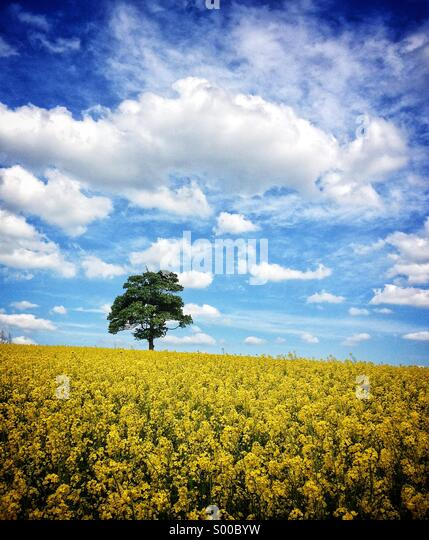 Lone tree in a field of oil seed, Warwickshire, UK - Stock-Bilder