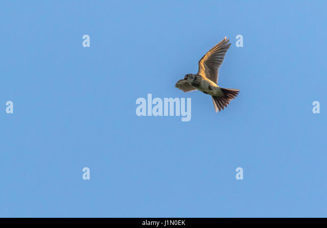 A common skylark in the flight - Stock Image