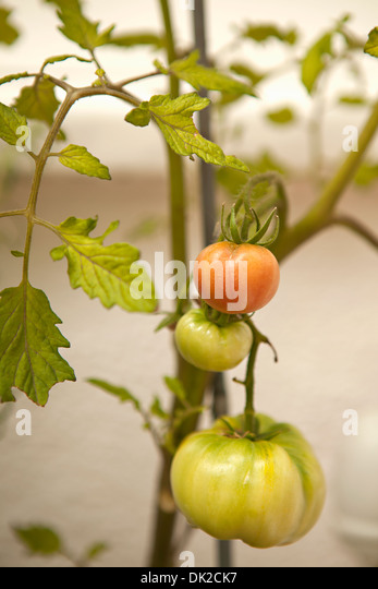 Close up of organic tomatoes ripening on vine in garden - Stock Image