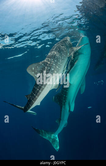 Whale Shark, Rhincodon typus, Cenderawasih Bay, West Papua, Indonesia - Stock Image