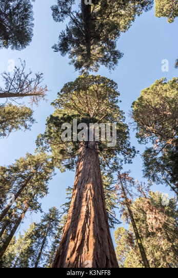Looking Up at a Giant Sequoia Tree Grove - Stock Image