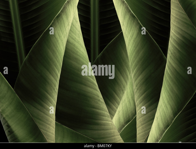 Banana Leafs. These pieces are all created in Hawaii from Hawaiian plants. - Stock Image
