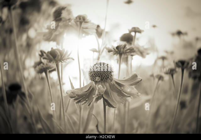 Flowers in garden with selective focus in sepia tone. Tranquil summer nature scene, close up of flower in sunlight. - Stock-Bilder