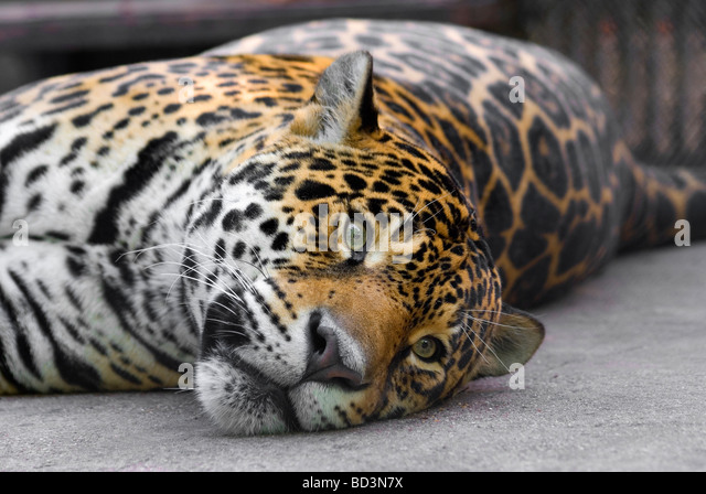Lolling leopard - Stock Image