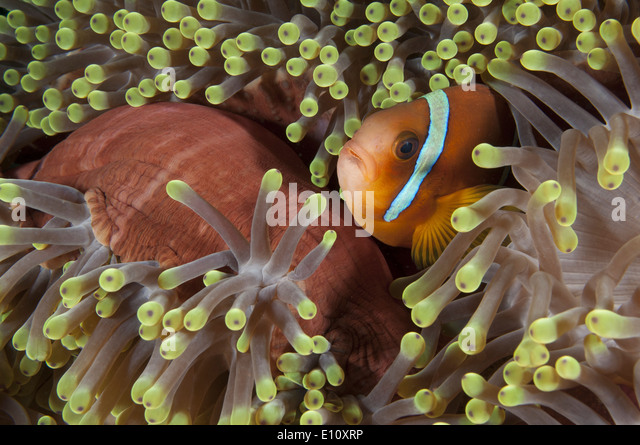 Red sea anemonefish, Sudan (Amphiprion bicintus) - Stock-Bilder