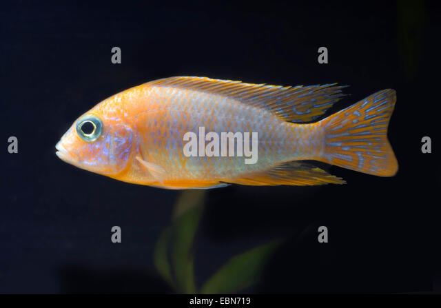 Aulonocara (Aulonocara Rubinrot), breeding form Red Rubin - Stock Image