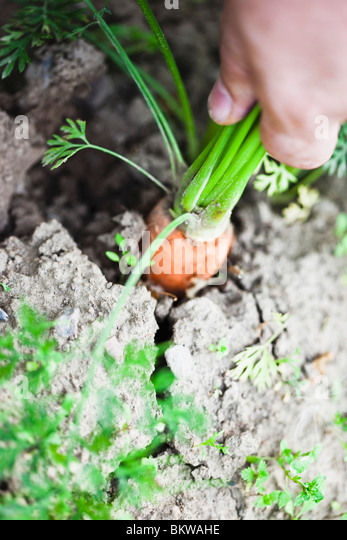 A carrot in the soil - Stock Image
