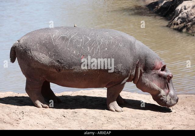 Hippopotamus in the Mara river in the Masai Mara reserve in Kenya Africa - Stock-Bilder