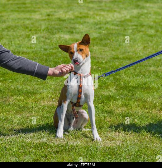 Embarrassed basenji dog deciding dilemma - master or food - Stock Image