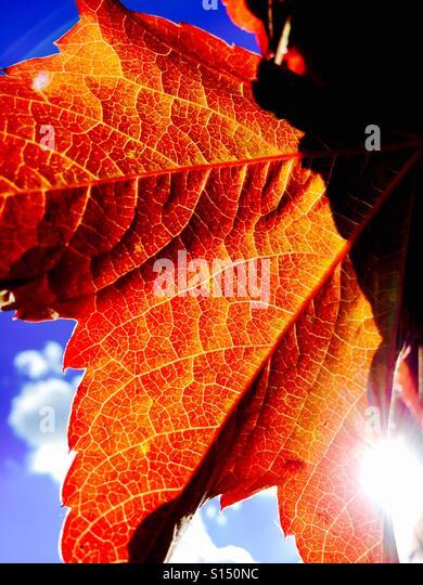 Virginia creeper leaf with sun light beaming - Stock-Bilder