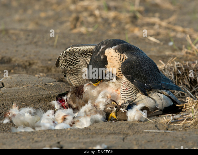 ddt peregrine falcons on the verge Verge of funding one of the  she never saw bald eagles and peregrine falcons again soar over the maine saltmarshes that she so  the ddt truck.