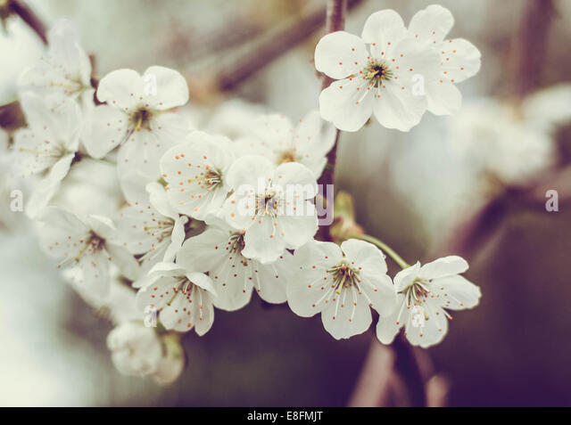 Close-up of Cherry Blossom flowers - Stock Image