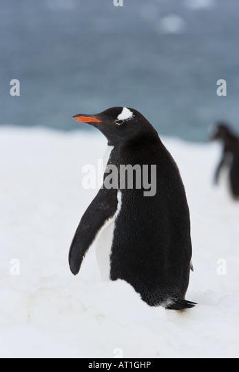 Gentoo Penguin (Pygoscelis papua) set against snow and water background - Stock Image