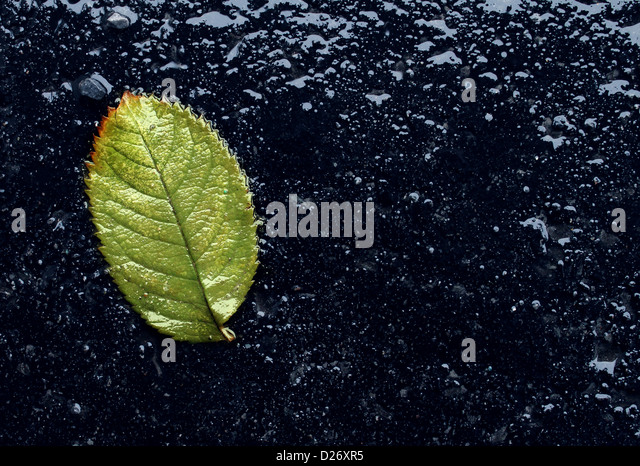 Wet single fallen green leaf on black asphalt as a symbol of renewal and hope after winter or before spring season - Stock-Bilder
