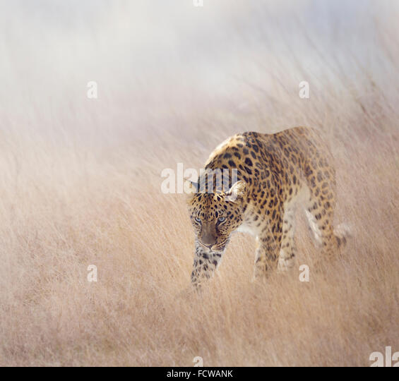 Leopard Walking in The Grass - Stock-Bilder