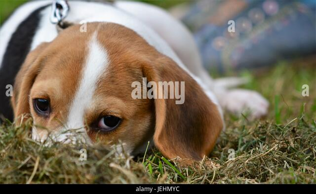 Dog relaxes during the local dog show at the 2017 Banbury & District Show, - Stock Image