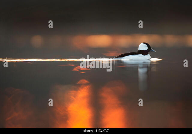 A male Bufflehead duck swims along on the calm water as the sun rises behind it. - Stock Image