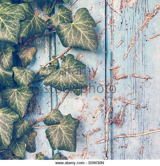 Green Ivy on a Blue Painted Door - Stock Image