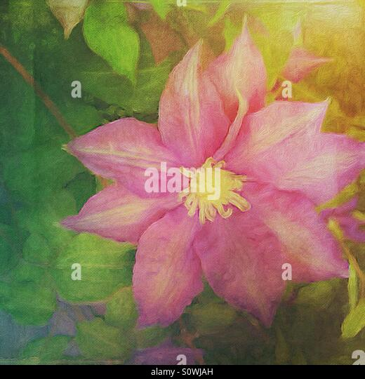 Pink Clematis in a Painterly Style - Stock Image