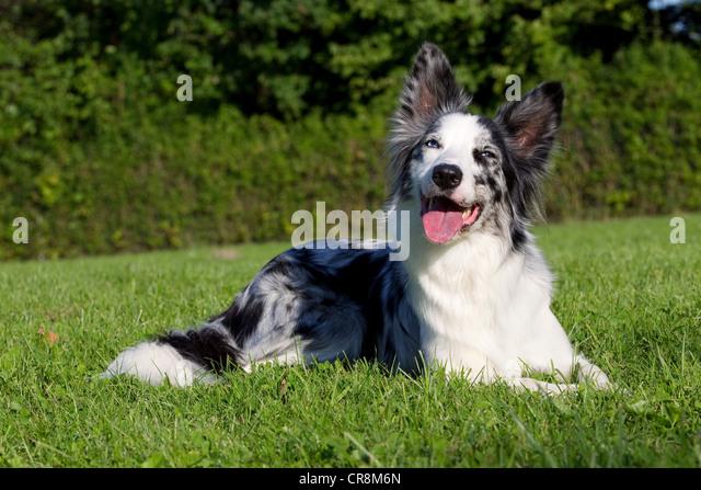 Dog lying on grass - Stock Image