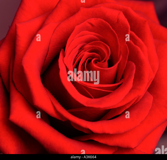 Red Rose - Stock-Bilder