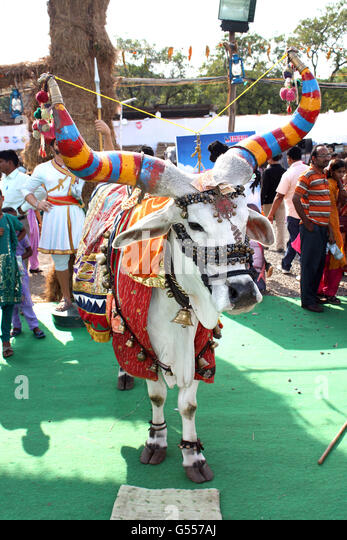 PUNE, MAHARASHTRA/INDIA - OCT 24: A decorated bull stands in the crowds with money stuffered near his forehead as - Stock-Bilder