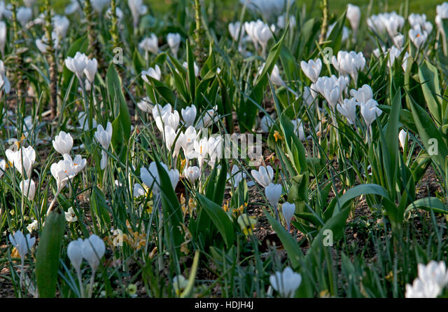 The cup-shaped, solitary, salverform flower tapers off into a narrow tube. Their colors vary enormously, although - Stock-Bilder